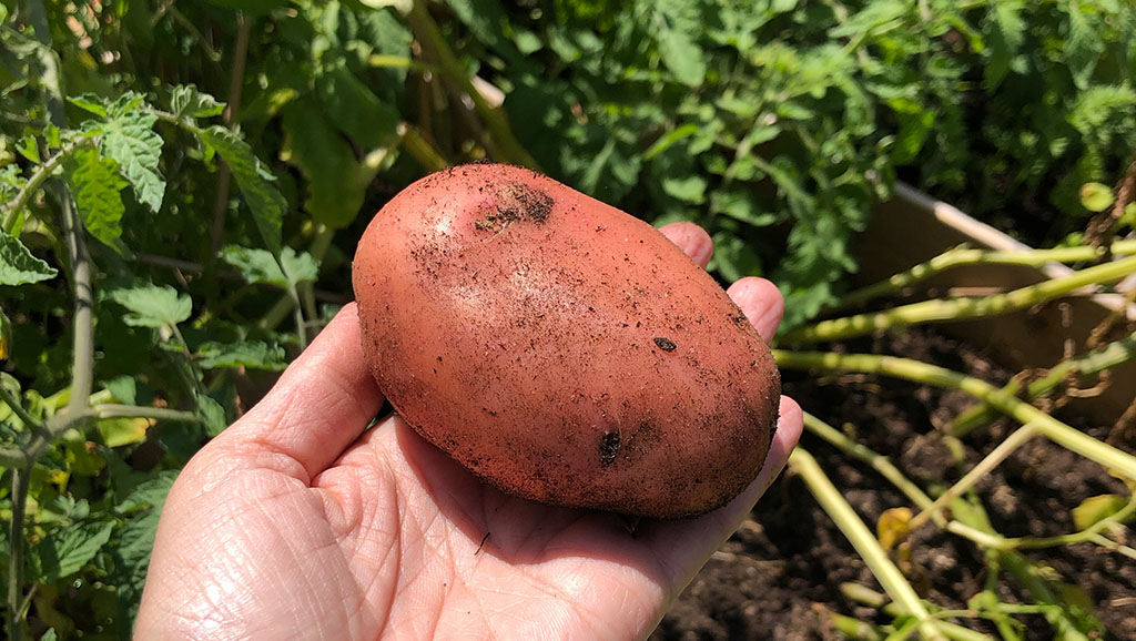 Auf einer ausgestreckten Handfläche liegt eine frisch geerntete Kartoffel mit rötlicher Schale.