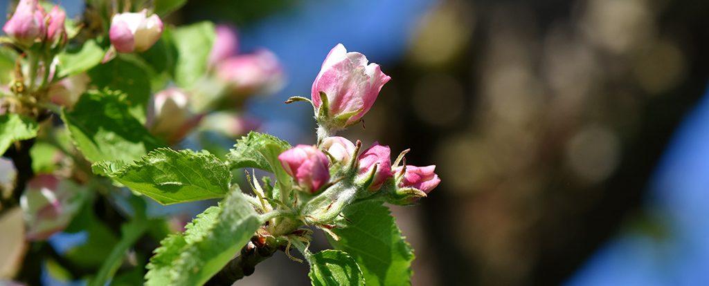 Ein Zweig mit eine aufgehenden Apfelblüte zeigt den Rhythmus des Lebens.