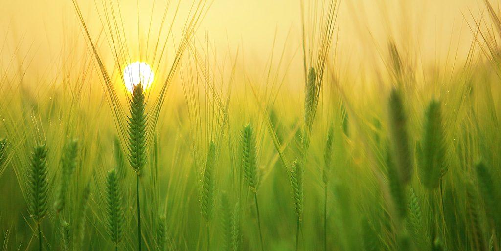 Die Sonne geht über einem Gerstenfeld auf - ob Montag oder Freitag.