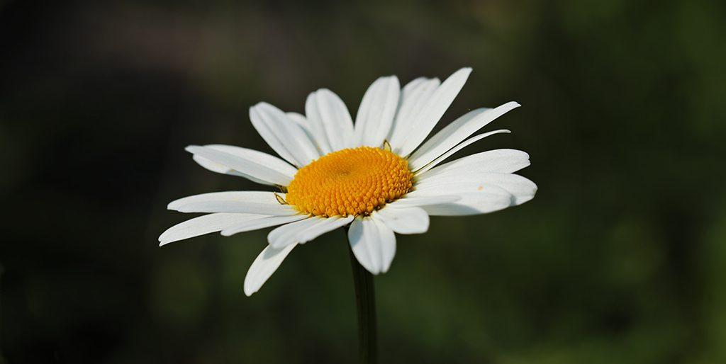 Das Bild zeigt eine einzelne Margerite, eine Blume, die keine Selbstlüge kennt.