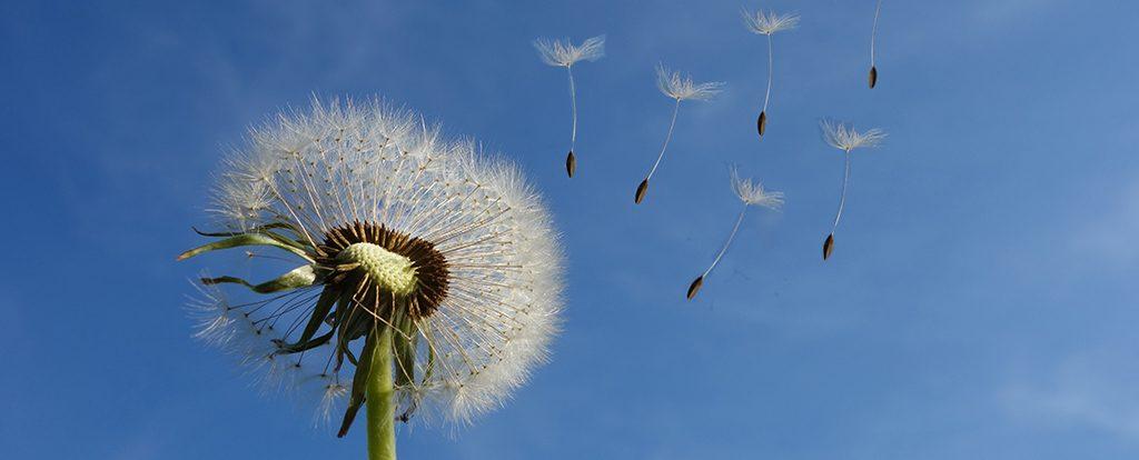 Die Samen eines Löwenzahns fliegen im Wind.