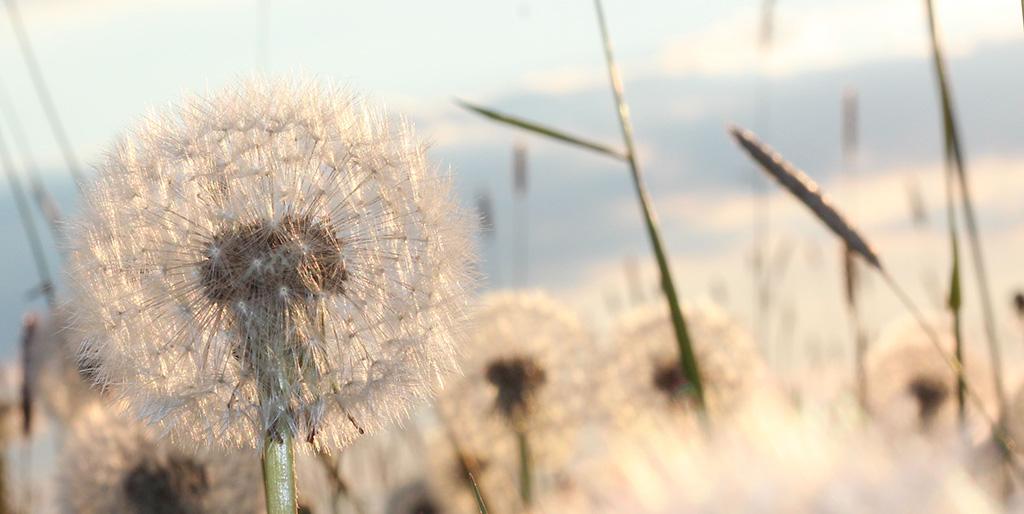 Pusteblumen stehen als Bild für Veränderung.