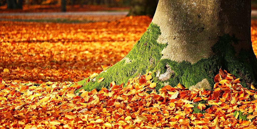 Der Baumstamm einer Buche mit Moos ist in einem Teppich von Herbstlaub zu sehen und steht als Bild für das, vermeintlich sein muss.