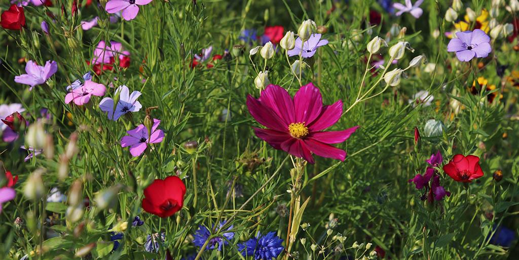 Auf einer Blumenwiesen blühen verschiedene bunte Blumen.