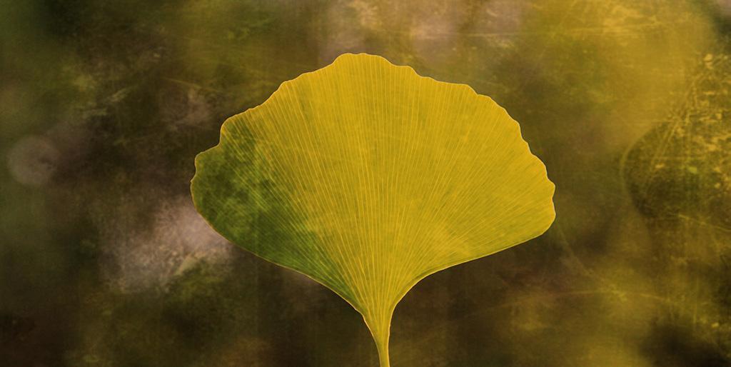 Ein einzelnes Ginkoblatt scheint von hinten von Licht durchleuchtet zu sein und steht als Symbolbild für das Vertrauen ins Leben.