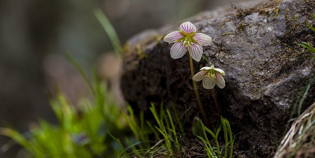 Zwei feine Blüten blühen vor einem Stein.