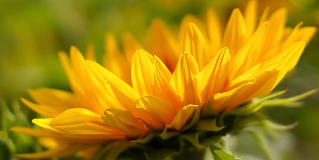 Eine Sonnenblume ist von der Seite zu sehen. Das kräftige Geld soll ein Symbol für den Glauben an sich selber sein.