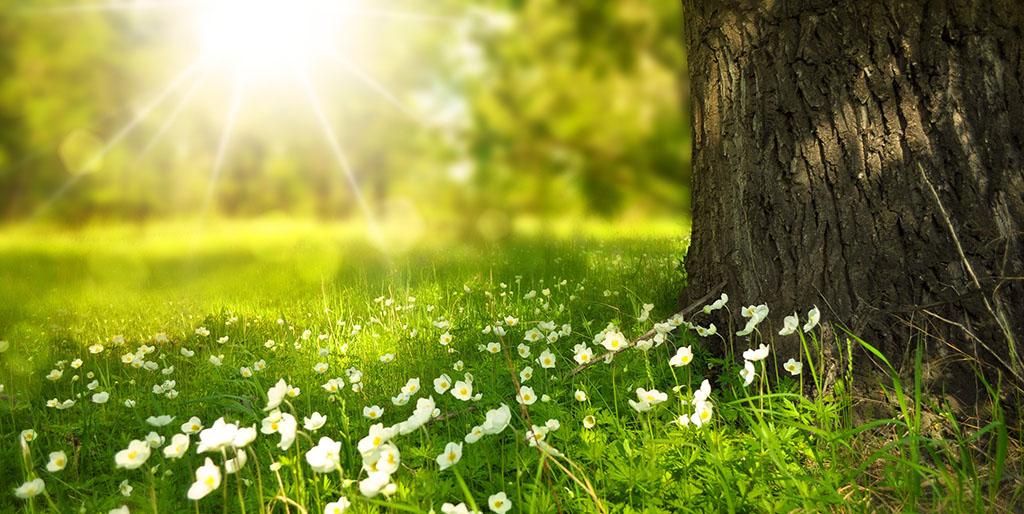 Sonnenstrahlen sind durch die Bäume zu sehen, vor dem Stamm eines Baumes sind viele Gänseblümchen auf der Wiese. Ein Symbolbild für die Auferstehung.