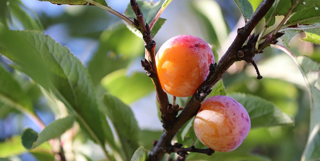 """Zwei reife Mirabellen hängen leuchten orange am Baum als würden sie rufen """"pflücke uns""""."""